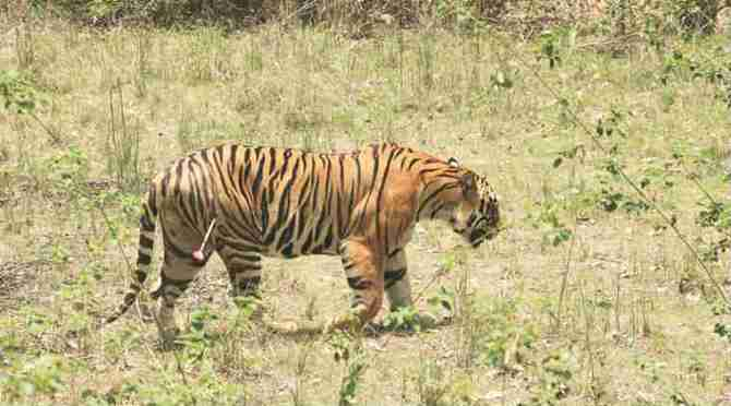 illegal global tiger trade