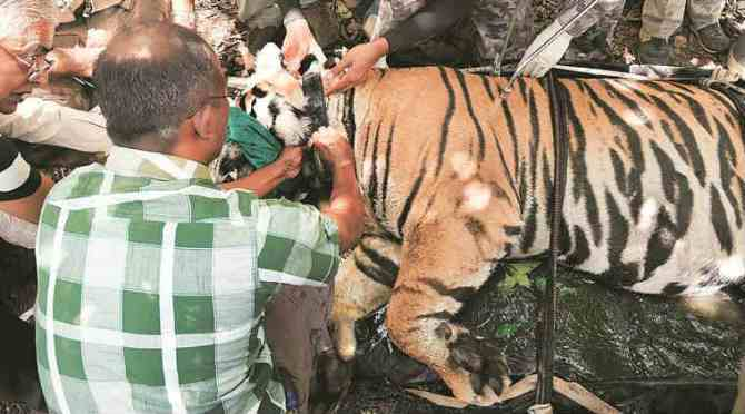 Tiger relocation to Odisha