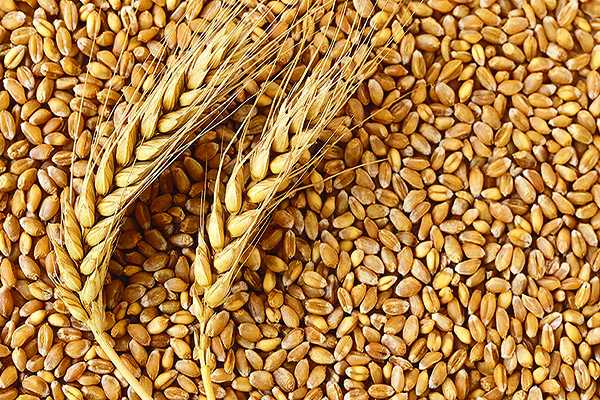 Weight Loss Tips : wheat, கோதுமை