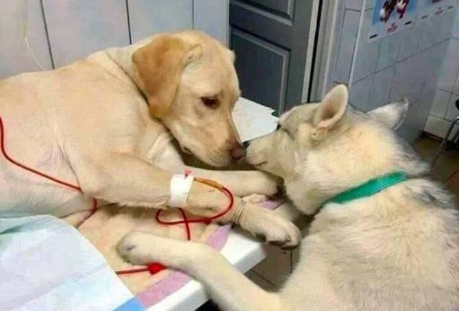 வைரலாகும் நாய் அசிஸ்டெண்ட், Twitter, Pet dog, Veterinary assistant dog