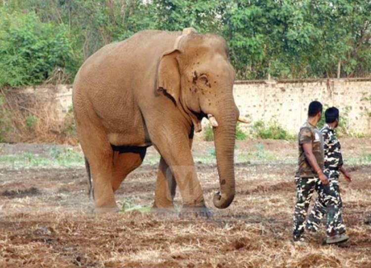 Chinnathambi Elephant caught forestry department - சின்னத்தம்பி யானை பிடிபட்டது! பலாப்பழம் கொண்டு சிக்க வைத்த வனத்துறை!