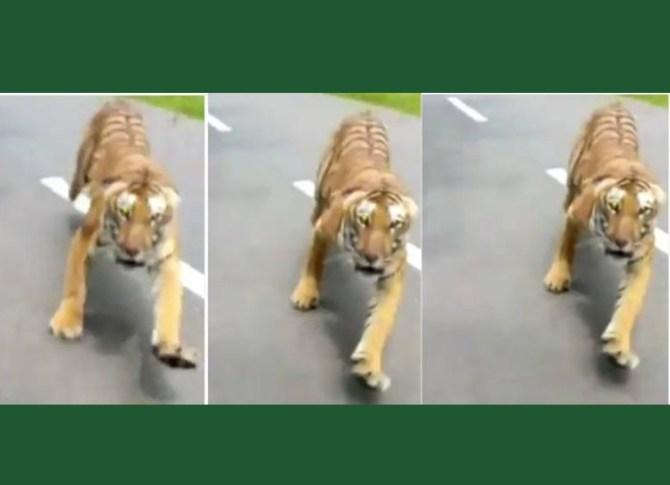 Tiger chasing motorcyclist Wayanad Viral Video