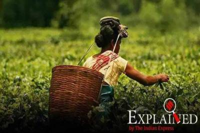 assam, assam tea, assam tea cost, assam tea price, assam tea trade, tea auction, tea leaves, india tea production, coonoor, அஸ்ஸாம் தேயிலை, கோல்டன் பட்டர்ஃபிளை, தேயிலை ஏலம், உலக சாதனை, golden butterfly, guwahati, guwahati tea, tamil indian express news, gtac. tea acution centre, new record in tea price,