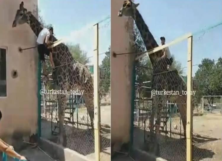 drunk man climbs up fence to sit on giraffe at kazakhstan zoo - ஜூவுக்கு போனா கை, காலை வச்சிக்கிட்டு சும்மா இருக்கணும்... இல்லாட்டி இதான் நிலைமை