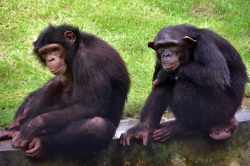 wildlife trade,PMLA,marmosets,Ed,Chimpanzees, India, India news