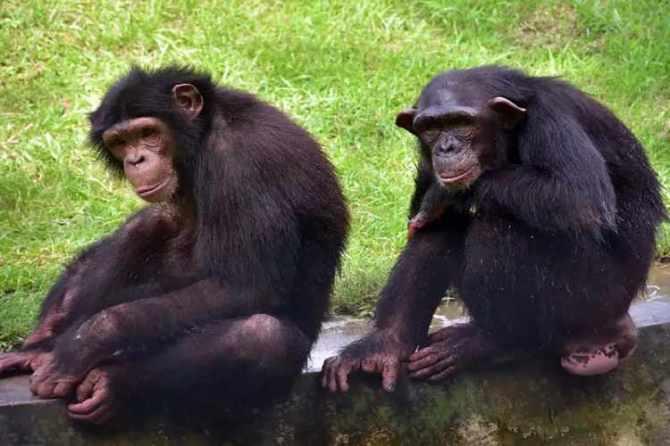 wildlife trade,PMLA,marmosets,Ed,Chimpanzees, India, India news