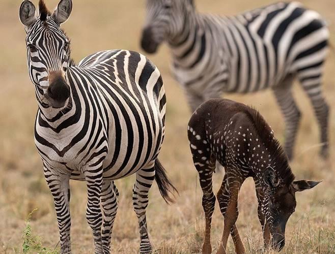 Rare polka-dotted zebra foal spotted in Maasai Mara