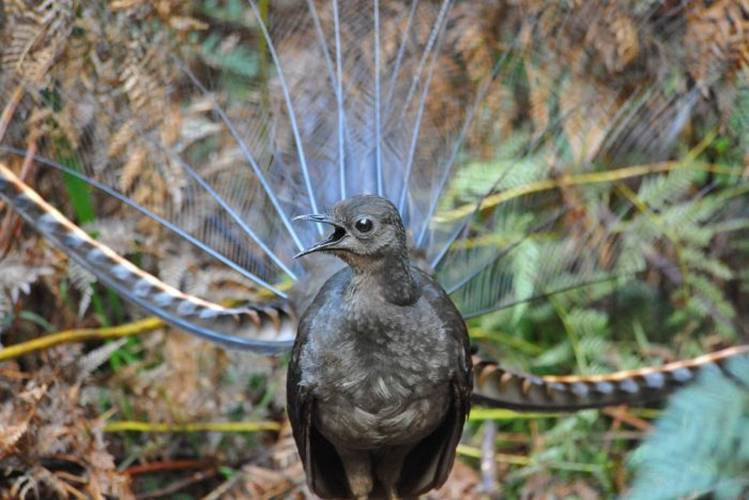 Viral Video Lyrebird mimicking noises goes viral