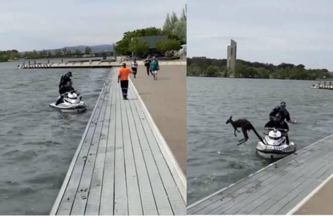 Viral video Kangaroo leaps back into lake
