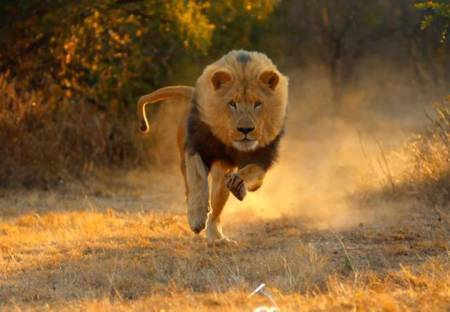 Social Media viral videos trending lion chasing tourists