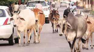 Stray cattle turning non-vegetarian in Goa, Stray cattle turning non-vegetarian, கோவாவில் அசைவமாக மாறிய தெரு கால்நடைகள், சிகிச்சைக்கு அனுப்பப்பட்ட தெரு கால்நடைகள், கோவை, sent for treatment, Goa waste Management Minister Michael Lobo, Goa, kalangut village, stray cattle