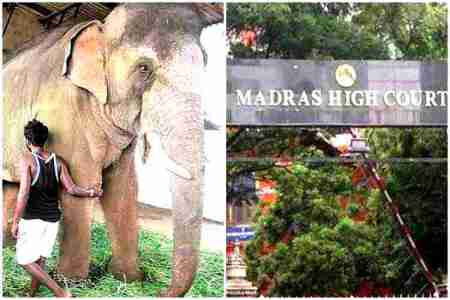 elephants, domesticated elephants status Case, domesticated elephants in tamilnadu, domesticated elephants, elephants, வளர்ப்பு யானைகள், தமிழகத்தில் வளர்ப்பு யானைகள் நிலை, demand form a committee headed by a retired judge, madras high court, சென்னை உயர் நீதிமன்றம், chenai high court, tamilnadu, tamilnadu elephants