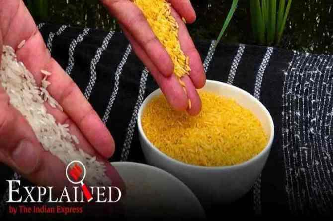 golden rice, What is Golden Rice, golden rice nutrition value, கோல்டன் அரிசி, கோல்டன் ரைஸ், golden rice bangladesh, பொன்னிற அரிசி, gold coloured rice, பங்களாதேஷ் அனுமதி, Bangladesh first country to approve to Golden Rice plantation