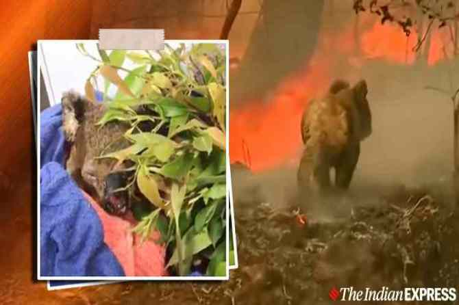 australia, nsw, forest fire, bushfire, koala, கோலா, காட்டுத் தீயில் சிக்கிய கோலா கரடி மீட்பு, கோலா கரடியை துணிச்சலாக மீட்ட பெண், viral video, port macquarie koala hospital, viral news, Tamil indian express