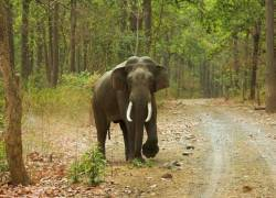 Elephant Arisi Raja captured last night
