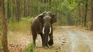 Elephant Arisi Raja captured last night