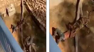 Man SURVIVES after falling into tiger enclosure Saudi Arabian zoo - சவூதியில் புலி கூண்டில் தவறி விழுந்த இளைஞர் - பதைபதைக்க வைக்கும் வீடியோ