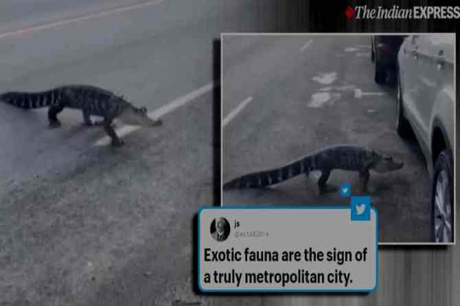alligator crossing roads, viral video, montreal, trending, Tamil indian express news, சாலையைக் கடந்த முதலை, மாண்ட்ரியல், பரபரப்பான சாலையைக் கடந்த முதலை, வைரல் வீடியோ, Alligator crossing busy street in montreal, Alligator calmly crosses busy street, Alligator escaping from van, alligator crossing street