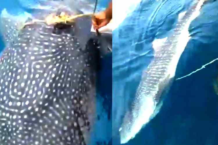 shark stuck on the rope around the body, shark stuck on the rope, உடலில் கயிறு சுற்றிய சுறா, சுறாவுக்கு உதவிய மீனவர்கள், மீனவர்களைத் தேடி வந்து உதவிகேட்ட சுறா, Fishermen help to Shark, shark looking help at fishermen, Malaysia fishermen help to a shark, viral video, fishermen removed the rope around the shark