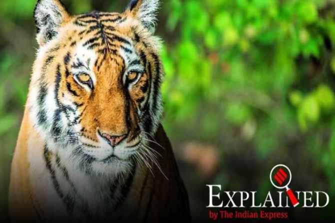 sultan tiger, Sanjay Gandhi National Park, sultan tiger shifting, sultan tiger new home, indian express news