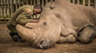 Northern white rhinos Leibniz institute conducted successful ovum pick up