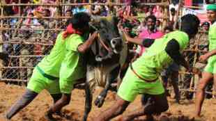 jallikattu live, jallikattu video