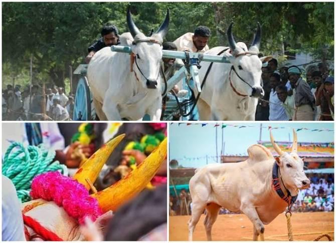 Pongal 2020 Alanganallur Palamedu Jallikkattu Pollachi Rekla race