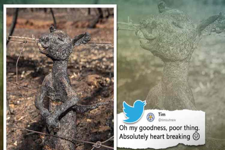 astralia, australia bushfire, nsw bushfires, Australian bushfires tragedy, ஆஸ்திரேலியா காட்டுத்தீ, burnt kangaroo bushfire, காட்டுத்தீயில் கருகிய கங்காரு குட்டி, australia bushfire wildlife killed, burned baby kangaroo photos, burnt kangaroo viral photo