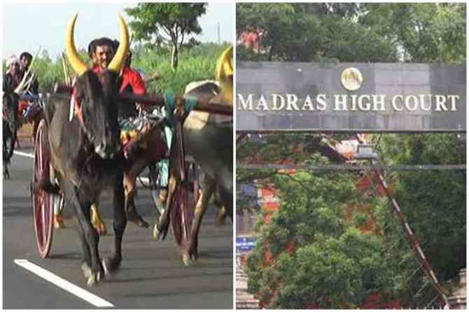 rekla race, rekla race ban in nagai district, ரேக்ளா ரேஸ் நடத்த தடை, நாகை, திருக்கடையூர், உயர் நீதிமன்றம் உத்தரவு, madras high court order to ban rekla race, nagapattinam, nagai, thirukadaiyur, rekla race ban