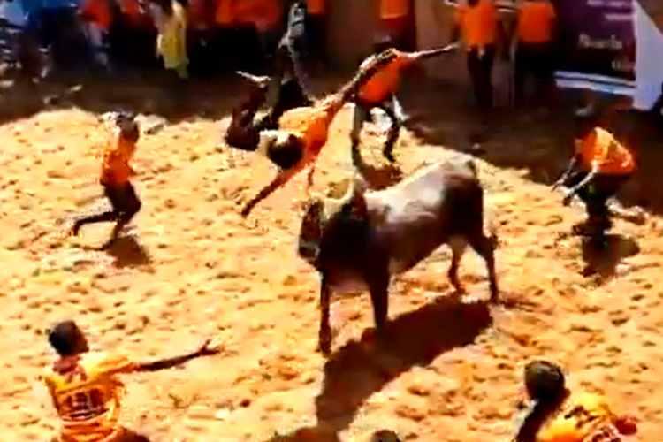 jallikattu, bull plying excellent, ஜல்லிக்கட்டு, வைரல் வீடியோ, ஜல்லிக்கட்டில் மாடுபிடி வீரரை தூக்கி வீசிய காளை, பலே காளை, அலங்காநல்லூர் ஜல்லிக்கட்டு, jallikattu sports, alaganallur jallikattu, jallikattu video, jallikattu viral video, viral video, bull to throw away a man Viral video, bull to throw away a man in jallikattu