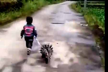 little boy walking with Porcupine viral video, little boy walking with porcupine, a boy walking with porcupine, சிறுவனும் முள்ளம்பன்றியும், வைரல் வீடியோ, boy walking with porcupine viral video, viral video, Porcupine friend with a little boy முள்ளம்பன்றி , Porcupine, Internet, friendship, viral video, social media, trending, trend video
