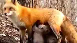 Fox feeds to Koala bears, Fox allows feeds to Koala bears kids, கோல கரடி குட்டிகளுக்கு பாலூட்டிய நரி, பாலூட்டிய நரி, ஆஸ்திரேலியா, fox feeds to kola bears in Australia, fox feeds to kolas viral video, viral video