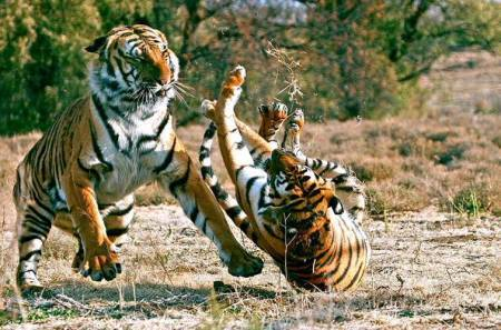 Tiger fight, Viral video