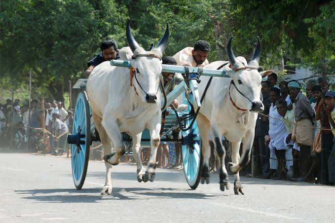 Pongal 2020 Alanganallu Palamedu Jallikkattu Pollachi Rekla race Tamil Nadu traditional sports