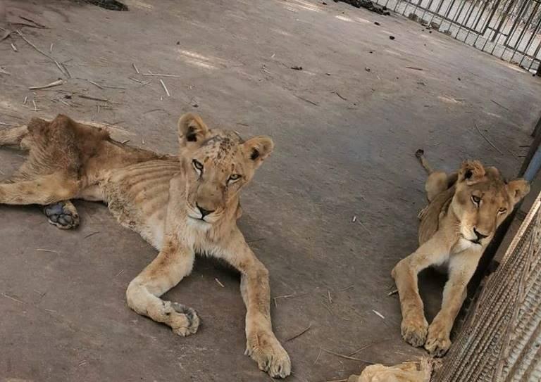 malnourished lions spark outrage online, Al Qureshi Lions, Sudan Lions