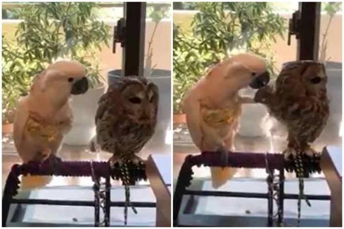 parrot owl romance, owl parrot romance, கிளி ஆந்தை காதல், வைரல் வீடியோ, கிளி ஆந்தை ரோமான்ஸ், different birds romance viral video, parrot owl love, owl parrot love, parrot owl love video viral