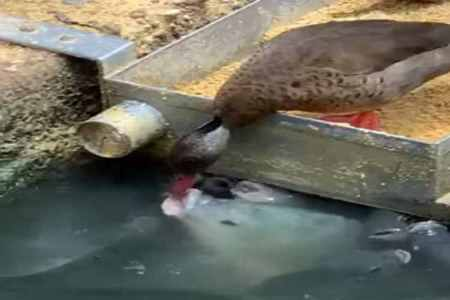 duck, fish fedding, pond, food, video, viral, social networks, facebook, twitter