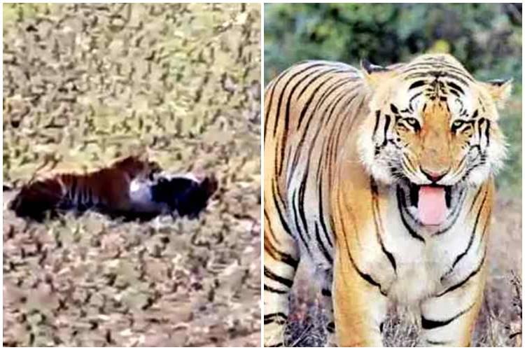 man escaped from tiger, man escaped from tiger viral video, புலியிடமிருந்து தப்பிய வைரல் வீடியோ, வைரல் வீடியோ, புலியிடம் சிக்கிக்கொண்ட மனிதன், maharashrtra, Bhandara district, tiger round up man viral video