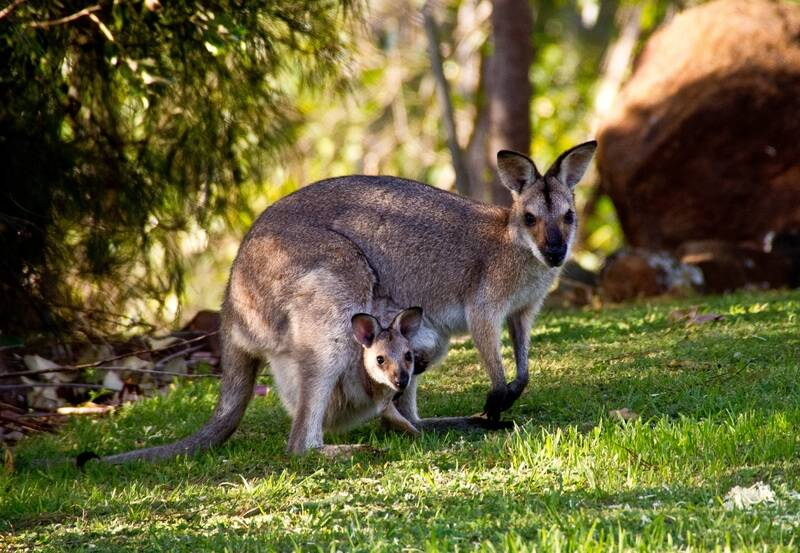 Viral Trending Video of Kangaroo giving birth to joey