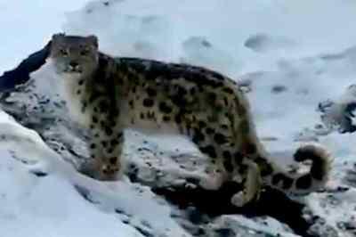 snow leopard spiti valley viral video, ifs tweets, பனிச் சிறுத்தை, ஸ்பிட்டி பள்ளத்தாக்கில் பனிச் சிறுத்தை, வைரல் வீடியோ, big cat, leopard, snow leopard viral video, viral video, trending, tamil indian express, indian express news