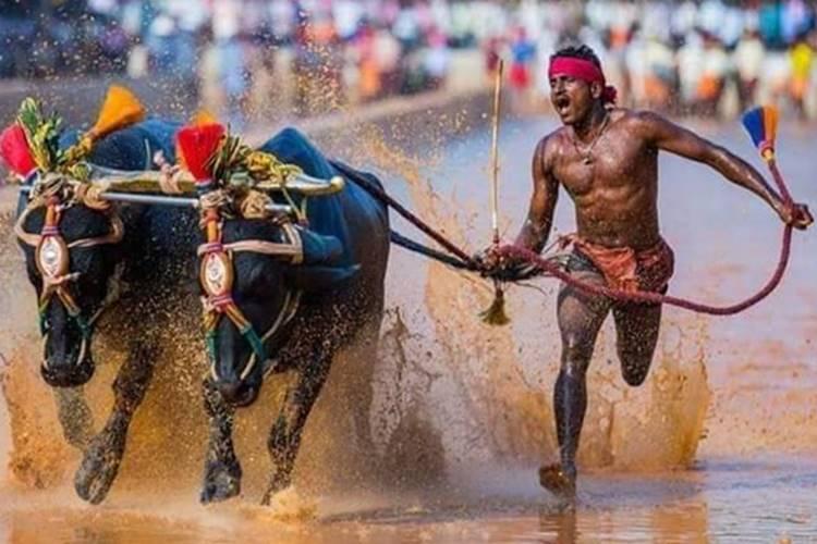 Kambala Jockey Srinivasa Gowda faster than Usain Bolt