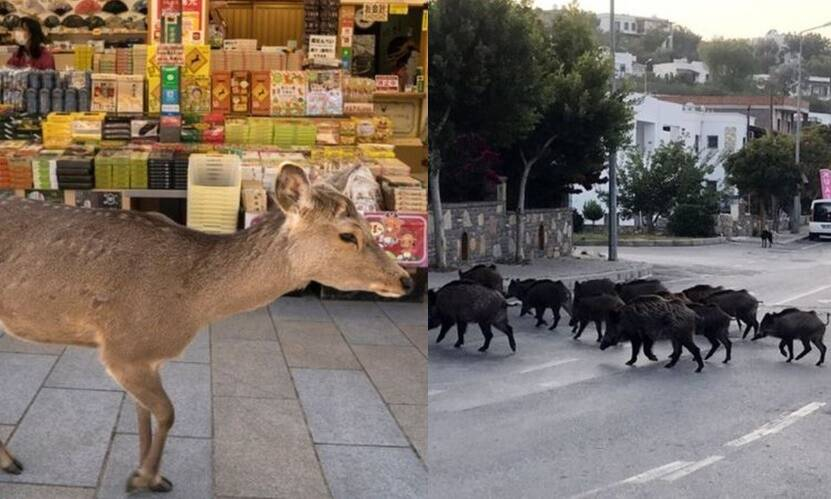Coronavirus outbreak: Animals takeover cities during self quarantine