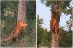 leopard climbing tree viral video, leopard in india, இரையுடன் மரம் ஏறும் சிறுத்தை, வைரல் வீடியோ,leopard facts, wild animals, twitter viral trends, trending. indian express, unbelivable climb, tamil indian express news