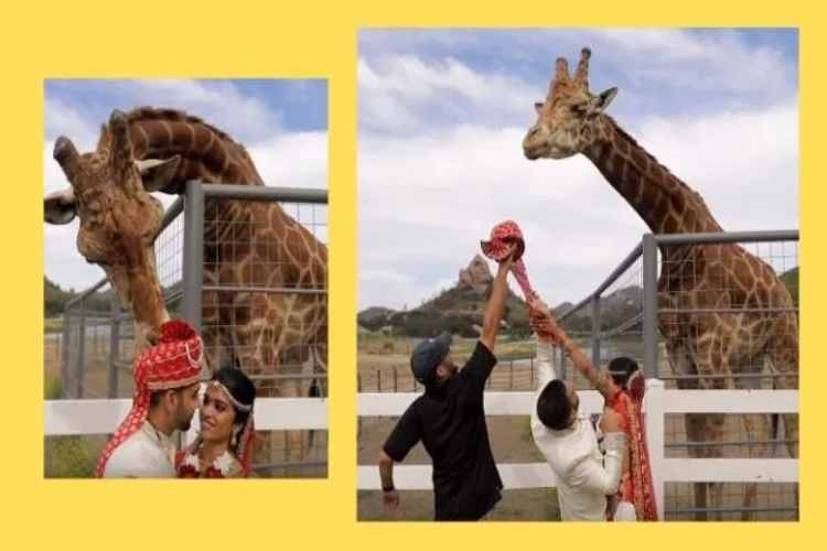 giraffe, giraffe snatches groom turban video, stanley the giraffe, giraffe eats indian grooms turban during photo shoot, california, indian couple in malibu, california, trending news, indian express news
