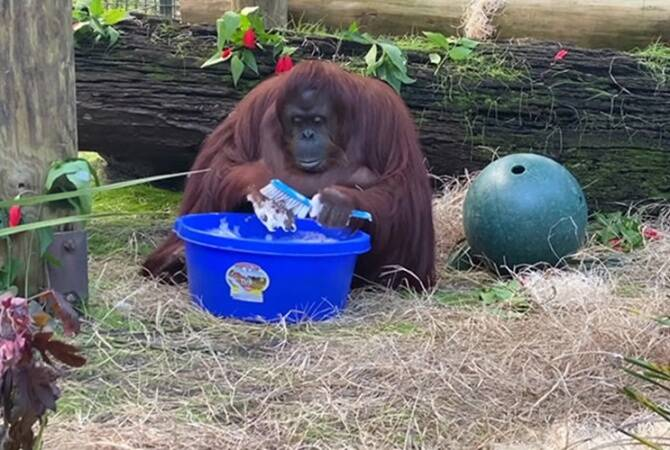 Sandra, Sandra orangutan, orangutan washes hands