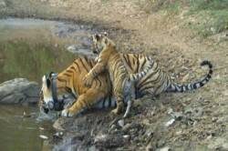 Tigress Gives birth to cub at sariska
