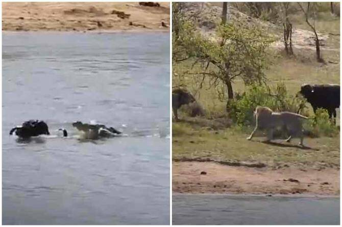 bison struggling to escape from lions video, bison escape from crocudile video, முதலையிடம் இருந்து தப்பிய காட்டெருமை, சிங்கங்களிடம் இருந்து தப்பிய காட்டெருமை, காட்டெருமை வைரல் வீடியோ, சிங்கங்களிடம் இருந்து உயிர் தப்பிய காட்டெருமை வைரல் வீடியோ, bison escape from lions viral video, bison video goes viral, bison viral video, bison fighting video, tamil video news, tamil viral video news, animal viral video news, bison video news