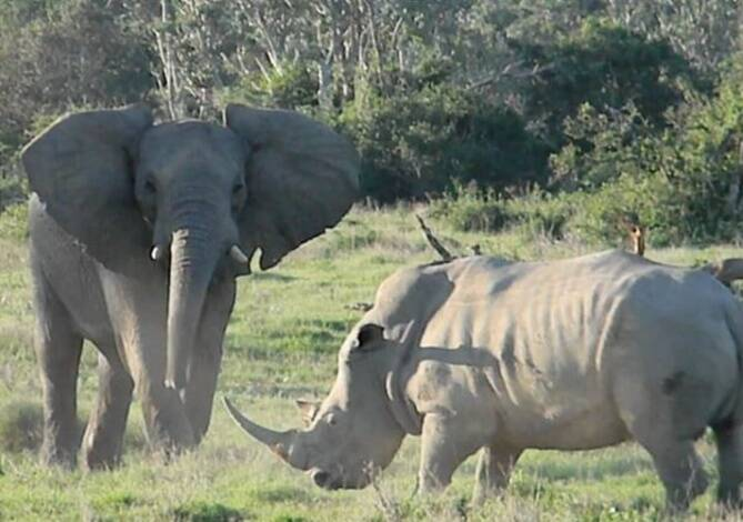 Viral video of an Elephant threatens Rhino with tree branch