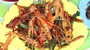 Rajasthan hotels prepare hot and tasty locust briyani, locust fry, locust 65