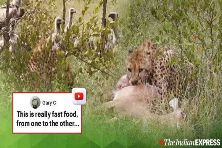 cheetah haunted vultures snatched food, lion captured prey from vultures, viral video, wild animal video, சிறுத்தை, கழுகுகள், சிங்கம், கழுகுகளிடம் இருந்து இரையை தட்டிச்சென்ற சிங்கம், வைரல் வீடியோ, serial video news, tamil video news, latest tamil video news, tamil nadu news, trending video news, tamil trending video